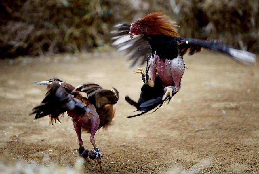 Chọn gà chiến mạnh dựa trên mắt gà chiến