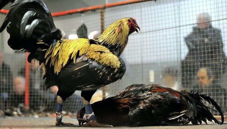 Đánh giá gà chọi mạnh bằng cách xem mắt gà