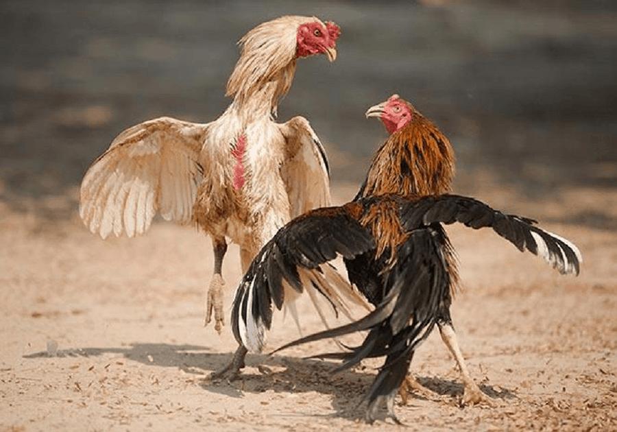 Biện pháp chơi cá cược đá gà online khiến nhà cái bội phục