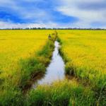 Nằm mơ thấy cánh đồng lúa đánh đề con nào chuẩn?