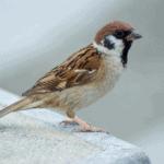 Nằm mơ thấy chim sẻ đánh đề con nào chuẩn?